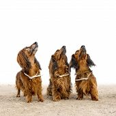 image of long-haired dachshund  - Three long - JPG