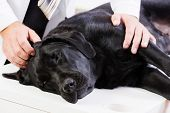Labrador lying on table checked up by veterinarian