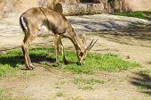 stock photo of fynbos  - A young bontebok eating grass - JPG
