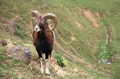 picture of capricorn  - Young capricorn  ram on a green meadow in the spring