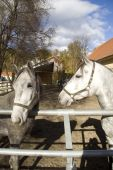 stock photo of lipizzaner  - Two of the famous white Lipizzaner stallions at the stables in Piber - JPG