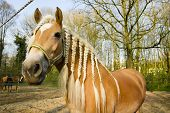 Horse With Pigtails Agains Spring Background