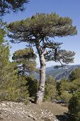 stock photo of pinus  - Pinus halepensis or carrasque in the natural park of Sierra de Cazorla - JPG