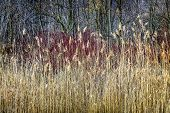 picture of bluff  - Winter reeds and forest at Scarborough Bluffs in Toronto - JPG