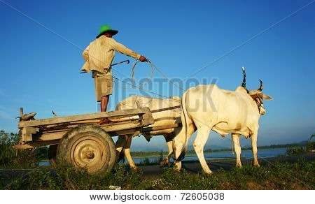 Amazing Vietnamese Rural, Asian, Cow Wagon