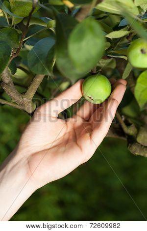 Gardener Holding Unripe Tomato