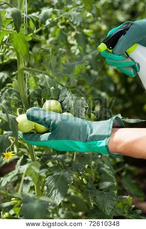 Garden Worker Spraying Tomatoes
