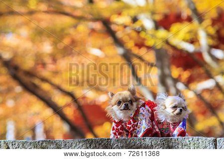The Dog Wearing A Yukata