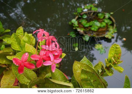 Broom Red Ixora Flowers