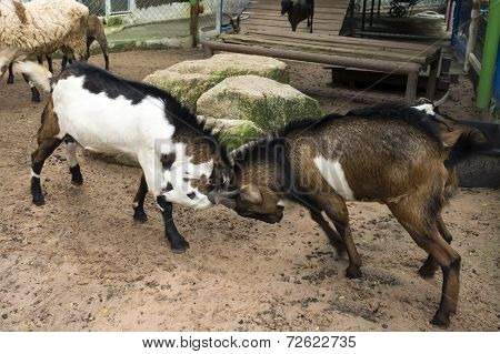 Goat Fight.