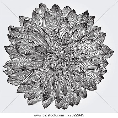 ink drawing of black dahlia flower, element for your design