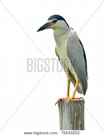 Black-crowned Night-heron Bird