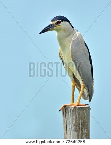 Black-crowned Night-heron Bird