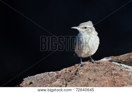 Rock Wren Resting On A Brick Wall