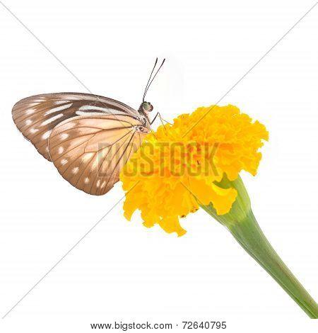 Malayan Wanderer Butterfly