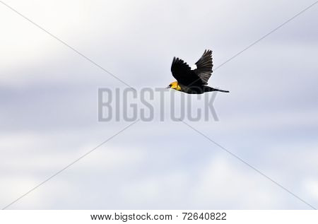 Yellow-headed Blackbird Flying On A White Background