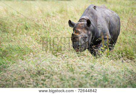 Black Rhinoceros Diceros Bicornis Michaeli In Captivity