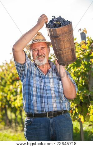 Mature Winegrower Harvesting Black Grapes