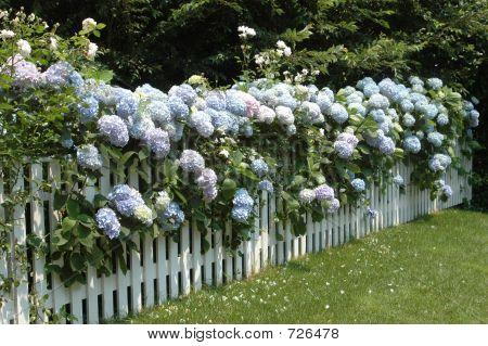Hydrangeas On A Fence