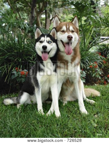 Two Huskies
