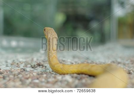 corn snake or Elaphe Guttata