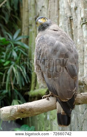 crested serpent eagle or spilornis cheela