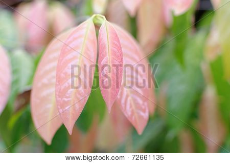 red young leaves of stelechocarpus burahol