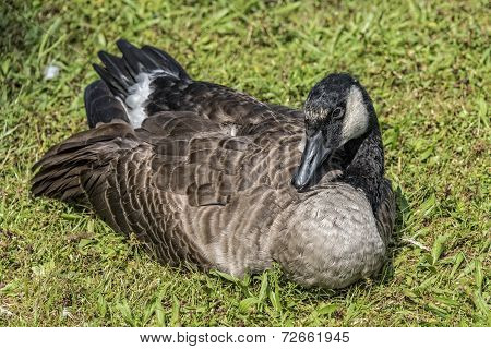 Canadian Goose Resting