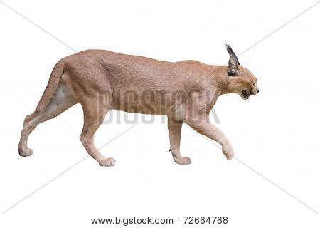 Caracal Isolatated