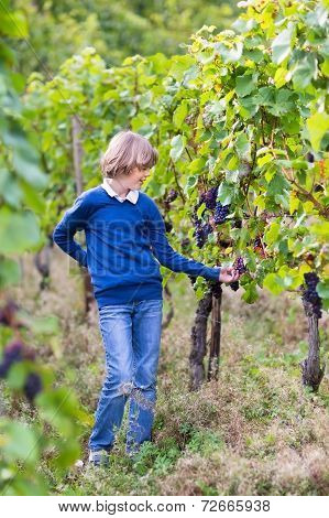 Portrait Of A Happy Smiling Boy Eating Ripe Tasty Grapes On A Beautiful Autumn Vine Yard