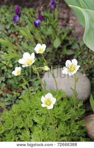 Saxifrage flowers in the garden