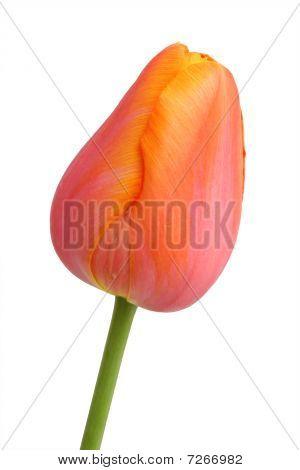 Spring Flower - Orange Tulip
