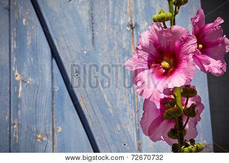 Hollyhock Flower Against Wooden Background