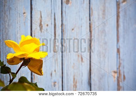 Yellow Rose Against Wooden Background
