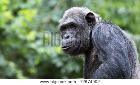 Smiling chimp