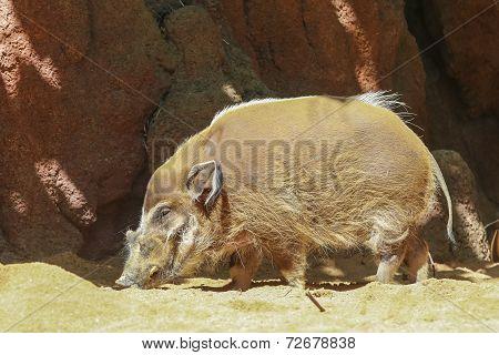 Wild Boar Walks On The Sand