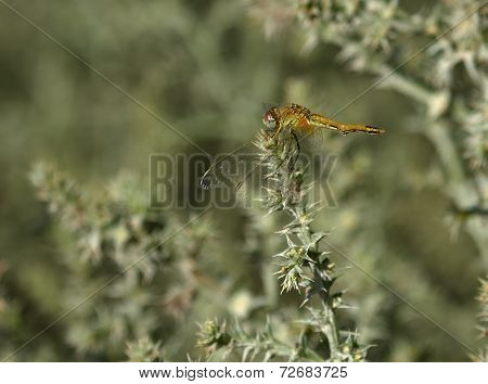 Immature ruddy darter, sympetrum sanguineum, in Camargue, France