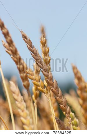 Wheat   (triticum)