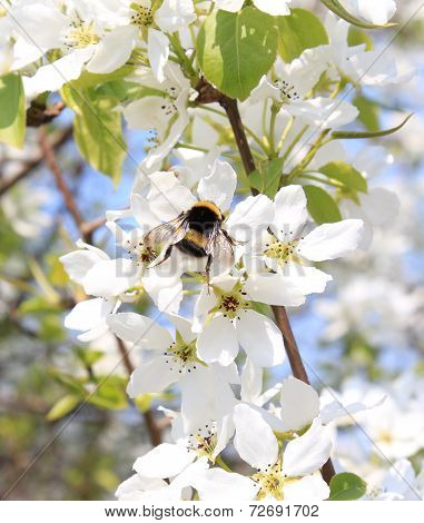 Bumblebee in the flowers of apple