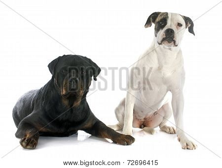 American Bulldog And Rottweiler