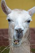 picture of lamas  - detail of the head of white lama chewing grass - JPG