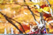stock photo of cattle dog  - The Dog Wearing A Yukata for adv or others purpose use