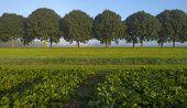 pic of turnips  - Turnip growing on a field at fall - JPG