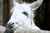 pic of horses ass  - Close up head shot of a donkey - JPG