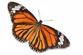 picture of monarch  - Closeup a beautiful orange monarch butterfly isolated on white background - JPG