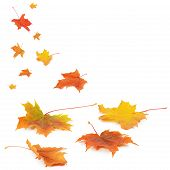 picture of maple tree  - Autumn maple leaves isolated on white background - JPG