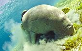 stock photo of sea cow  - dugong aka sea cow - JPG