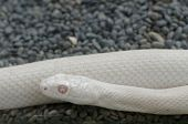 foto of rats  - The Texas rat snake is a subspecies of rat snake - JPG
