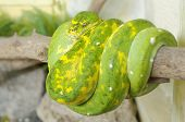 pic of green tree python  - Morelia viridis - JPG