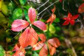 pic of creeper  - Red Virginia Creeper leaves and green Maple leaves under the tepid autumn sun - JPG